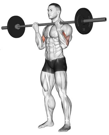 An illustration showing barbell bicep exercise