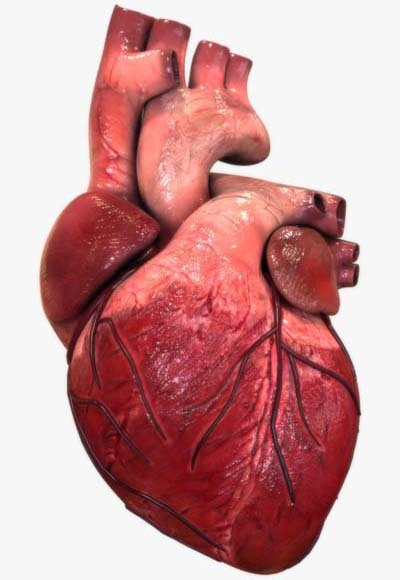 An image of human heart